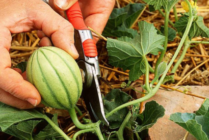 What to do in the vegetable garden in August?